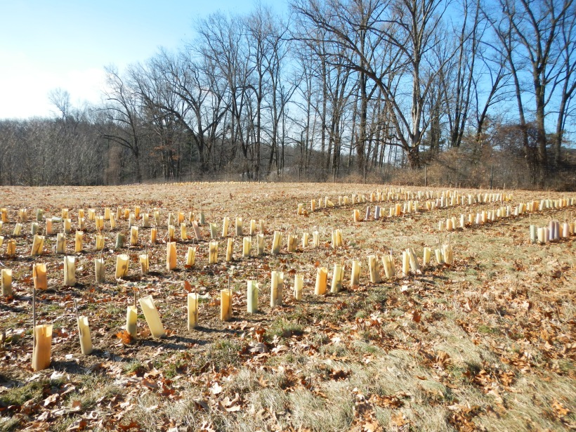 Rows and rows of tubes to protect the seedlings put in place by volunteers (and at times, knocked down by groundhogs!).