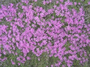 "The beautiful ""Phlox subulata"" from Tyler Arboretum's Pink Hill. Image provided by Laura McPhail."