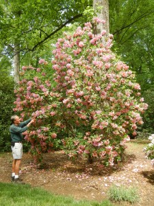 Rhododendron gardener Jerry O'dell, pointing out features on one of the shrubs.