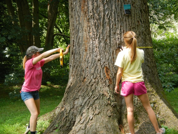 Erin (left) and Ami (right) measuring around a tulip tree.