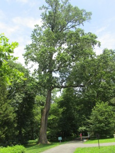 The historic tulip tree that we measured, with the ecohealth data presented in this blog post.